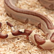 Hypo Salmon het. Albino (DH Sunglow) Männchen Box 4