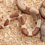 Hypo Salmon het. Albino (DH Sunglow) Weibchen Box 8