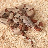 Hypo Salmon het. Albino (DH Sunglow) Weibchen Box 9