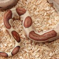 Hypo Salmon het. Albino (DH Sunglow) Männchen Box 10