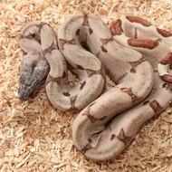 Hypo Salmon het. Albino (DH Sunglow) Weibchen Box 11