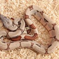 Hypo Salmon het. Albino (DH Sunglow) Männchen Box 12