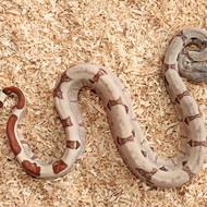 Hypo Salmon het. Albino (DH Sunglow) Männchen Box 13