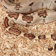 Hypo Salmon het. Albino (DH Sunglow) Männchen Box 14