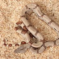 Hypo Salmon het. Albino (DH Sunglow) Männchen Box 15