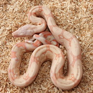 Albino Männchen Box 2
