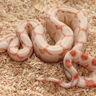 Albino Männchen Box 3