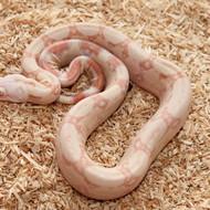 Albino Männchen Box 6