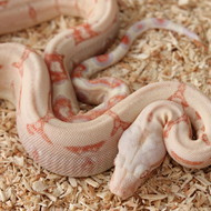 Albino Männchen Box 7