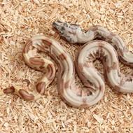 Hypo Salmon het. Albino (DH Sunglow) Weibchen Box 18
